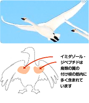 ジペプチド イミダゾール